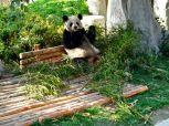 groer panda in chengdu